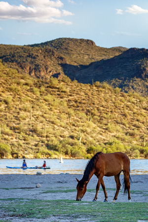 Wild horse grazing off the shore of Butchers Jones Beach on the Salt River in Mesa, Arizona USA with unidentifiable people on boats in tbe background