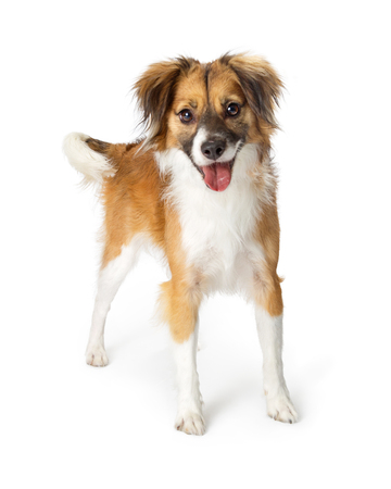 Cute small mixed breed tri-color long hair dog with open mouth and happy expression standing on a white background