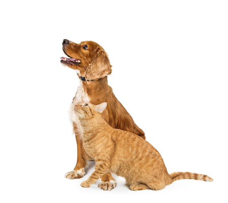 Cocker Spaniel Dog and orange tabby cat sitting together to the side and looking up with happy and excited expressions. Isolated on white. Stock Photo