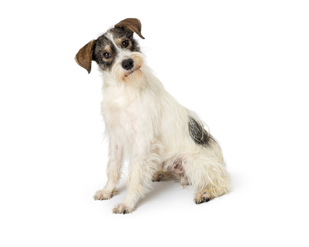Cute small Jack Russell Terrier mixed breed dog sitting to the side on white and looking into the camera with a tilted head Stock Photo