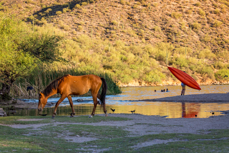 Wild horse grazing along the shore of Butcher Jones Beach on the Salt River of Mesa, Arizona with unidentifiable people playing in the water