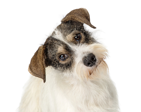 Closeup of the face of a cute mixed breed terrier dog looking into tthe camera while listening and tilting head
