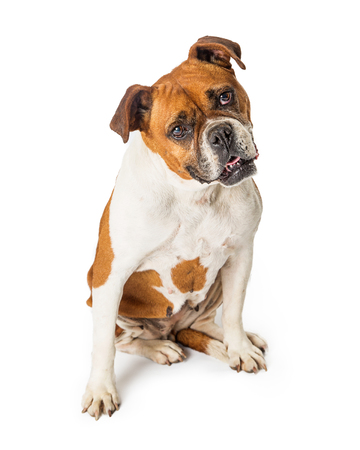 Cute Boxer and Bulldog mixed breed dog sitting on e white bakground tilting head and looking at camera