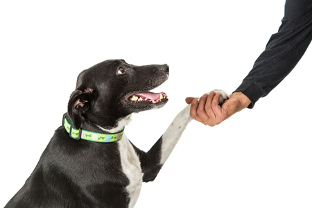Closeup of a happy and friendly dog with paw in the hand of a man
