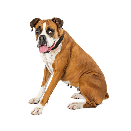 Adult Boxer and Bulldog crossbreed dog sitting to the side on white and turning head to look into camera Archivio Fotografico - 104213714