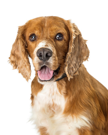 Close-up portrait of cute Cocker Spaniel dog over white background Imagens