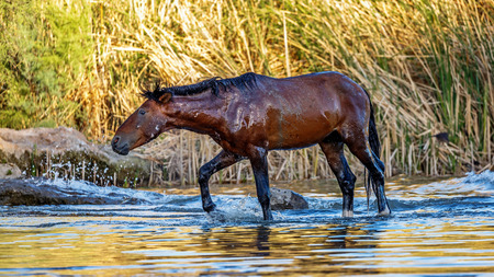 Wild horse wet from cooling off in the water of the Salt River in Mesa, Arizona USA