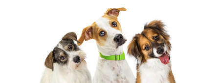 Close-up three cute dogs tilting heads to listen with attention while looking forward at camera. Horizontal web banner with room for text. Фото со стока - 104213719