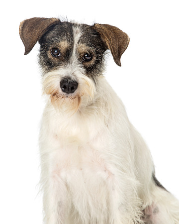 Closeup of cute wire-haired tri-color terrier mixed breed dog looking at camera