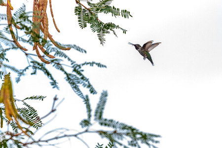 Hummingbird in flight isolated against white sky with tree branches
