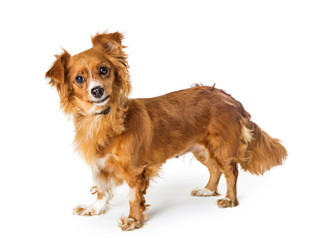 Cute small mixed breed dog standing on white, looking at camera Stock Photo