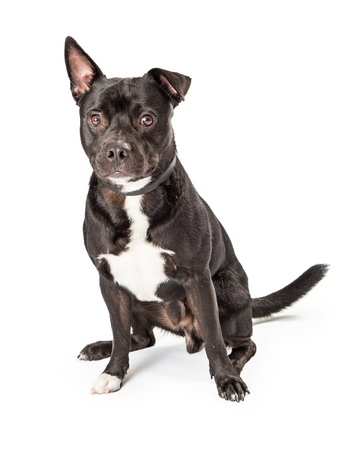 Mixed Pit Bull Terrier mixed breed dog with black coat and white chest sitting on white looking at camera