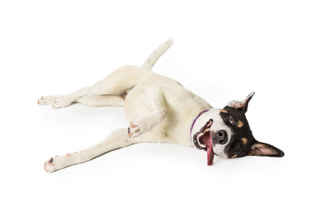 Cute playful large terrier crossbreed dog lying on side to roll over with open mouth and happy expression Stock Photo