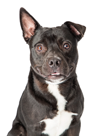 Close-up portrait photo of black and white colour mixed Pit Bull Terrier dog