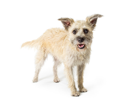 Cute medium size white colour terrier dog standing on white background Stock Photo - 107335443