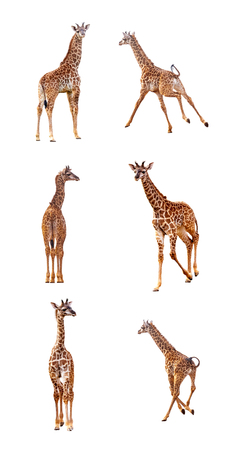 Six week old baby giraffe calf isolated on white in different playful positions