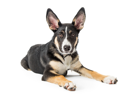 Young Shepherd and Border Collie mixed breed dog with big perky ears  lying down on white and looking forward into camera Stock Photo