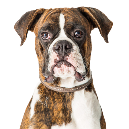 Closeup portrait of Boxer purebred dog facing center and looking straight forward Imagens