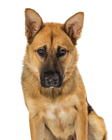 Beautiful large German Shepherd mixed breed dog with shy expression looking downward. Imagens