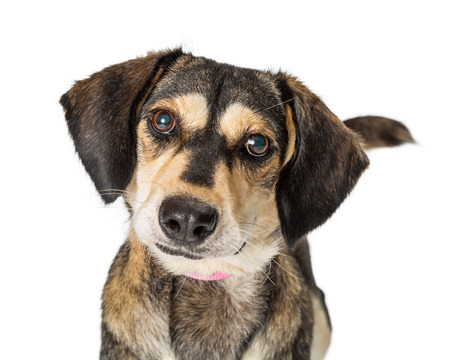 Cute medium size crossbreed brown dog looking into camera with sweet and attentive expression Stock Photo - 107342522