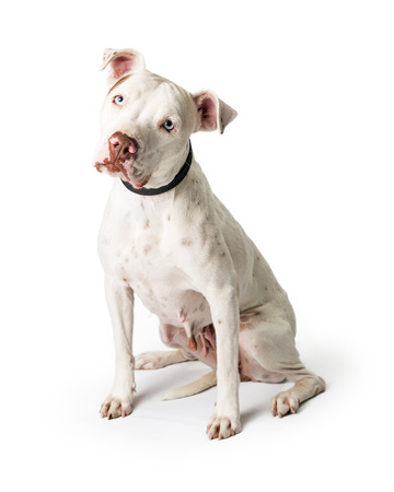 Friendly white Pit Bull dog sitting looking at camera tilting head