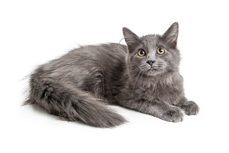 Beautiful domestic longhair grey color cat lying down on white background