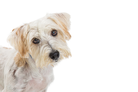 Closeup photo of a cute maltese and terrier small mixed breed dog looking at camer and tilting head.