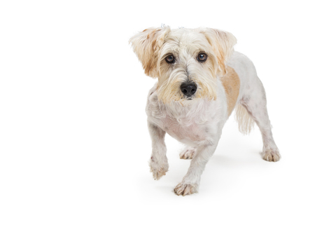 Cute mixed small terrier and Maltese breed dog walking over whire wth one paw up and looking at camera Фото со стока