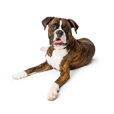Beautiful large purebred Boxer breed dog lying down on white background looking forward at camera