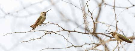 Horizontal web banner of two hummingbirds on branches of a tree Stock Photo