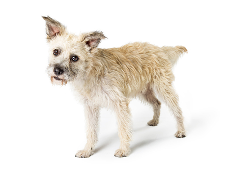 Cute Cairn Terrier mixed breed dog standing on white background tilting head and looking forward with attentive expression Imagens