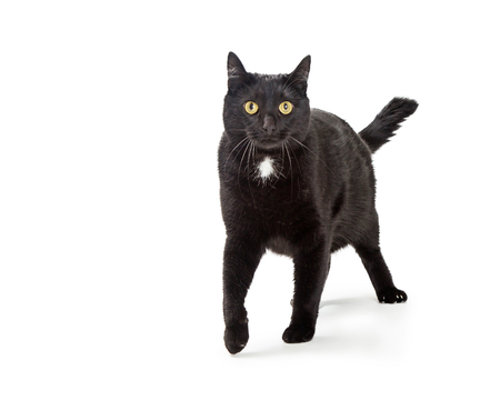 Active adult black cat walking forward on white looking at camera