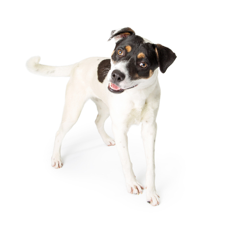 Terrier Crossbreed Dog with open mouth and happy expression standing on white looking forward Imagens