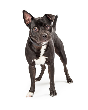 Large black pit bull terrier dog with one perky ear and one floppy standing on white looking forward