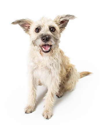 Cute young terrier dog sitting on white background looking forward with open mouth and happy expression Standard-Bild - 107342646