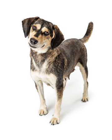 Cute medium size brown dog standing on white background tilting head and looking at camera with sweet expression