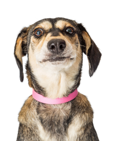 Closeup of cute mixed Beagle breed dog looking at camera with funny expression