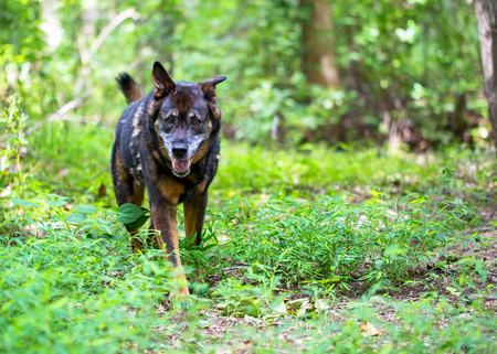 Large happy and healthy mixed Shepherd breed dog standing in the woods on a summer day Stock Photo