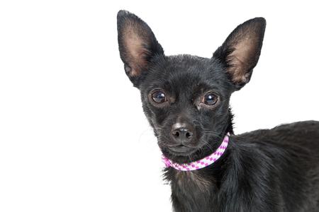 Cute black color Chihuahua dog closeup over white Stock Photo