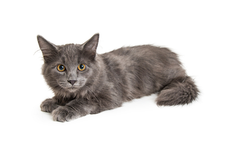 Pretty grey cat lying down to side on white background looking forward