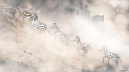 Dramatic scene in Kenya Africa with Zebra running uphill and Wildebeest leaping downhill on the bank of the Mara River during migration season