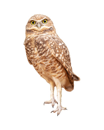 Burrowing owl facing side turning towards camera. Extracted and isolated on white background. Stock Photo