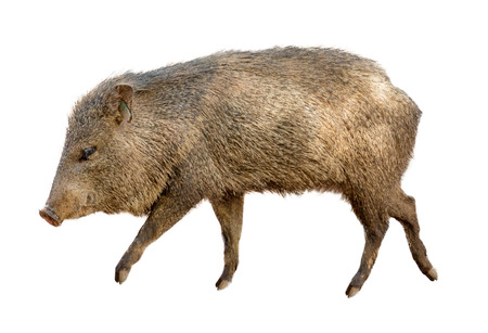 Collared Peccary, also known as a wild javelina pig walking to side over white background