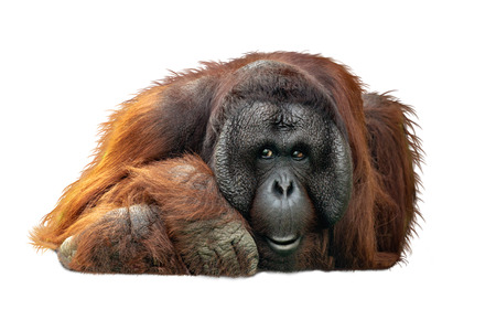 Adult male Bornean Orangutan lying down resting head looking at camera. Extracted photo isolated on white background.