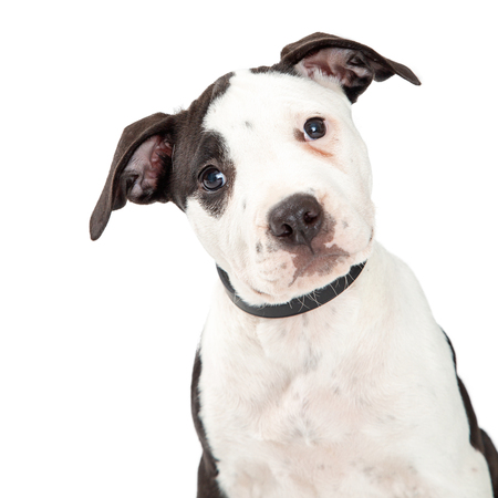 Closeup puppy of a cute black and white Pit Bull Terrier puppy dog looking at camera with sweet expression