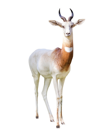 Addra Gazelle looking at camera with transparent background. Isolated on white background.
