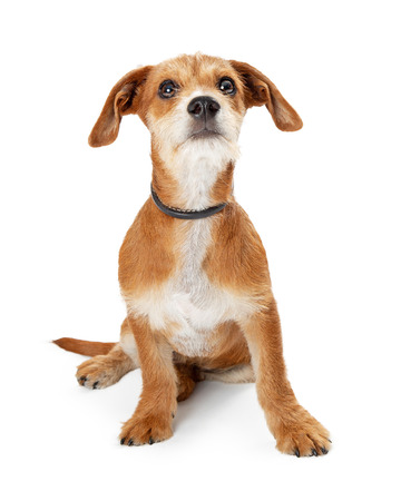 Cute small mixed breed dog sitting on white looking up with curious expression Stock fotó