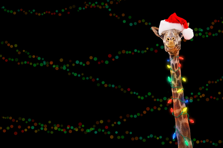 Giraffe zoo animal wrapped in illuminated Christmas holiday lights wearing Santa hat with room for text in black background with colorful bokeh. Фото со стока
