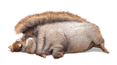 Funny photo of lazy warty pig with large belly lying down on side. Extracted photo isolated on white background.