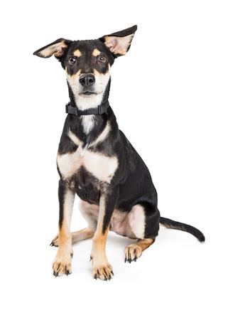 Full length photo of cute medium size mixed shepherd breed dog sitting on white background Stock Photo - 110735304